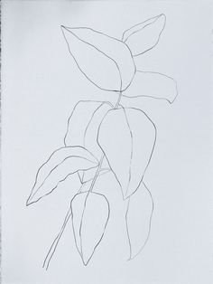 PLANT DRAWINGS / 2013 - kate roebuck