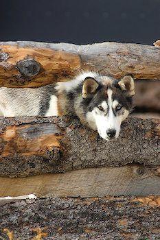 Cute Alaska Husky Dog Photo I Alaska Travel Photos