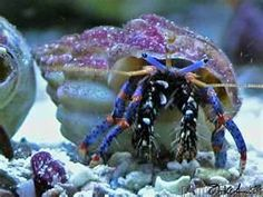 25 BLUE LEG HERMIT CRABS LIVE SALTWATER FISH PACK . Mine kept the sunny side of the tank stripped of algae - stored the strips beside the bottom filter tubes,