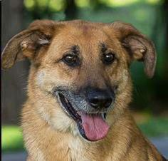 Orlando is a senior German Shepherd Dog mix available for adoption from Wayside Waifs animal shelter in Kansas City MO