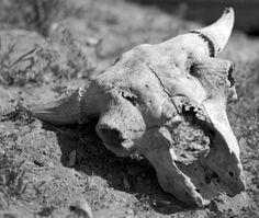 Buffalo Skull :: Western History