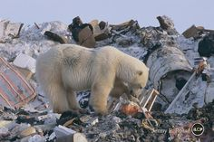 So, why is this polar foraging in a garbage dump? The answer is simple. There's no ice for it to travel across to its wild hunting grounds.