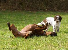 lagotto romagnola takes out the hound