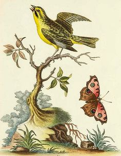 George Edwards    Bird Study    18th century