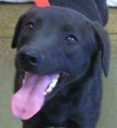 ★Urgent!!!★ •WV• Serenity Labrador Retriever Terrier Mix • Adult • Female • Large Raleigh County Animal Rescue Coal City, WV