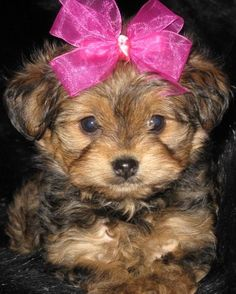 I want a yorkie poo SO MUCH!