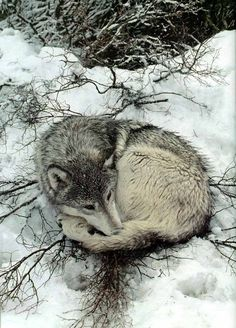 but I can't tell if its a husky or a wolf. Beautiful Creatures, Animals Beautiful, Tier Wolf, Animals And Pets, Cute Animals, Wild Animals, Baby Animals, Malamute, Wolf Hybrid