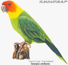 PERIQUITO-DA-CAROLINA (Conuropsis carolinensis) | Klima Naturali™