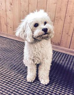 Meet Leo, a Petfinder adoptable Poodle Dog | Anchorage, AK | Leo is a 2-year-old neutered poodle mix. A very gentle, playful pup that loves to be cuddled. In...
