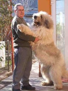 Unusual Dog Breeds, Shepherd Dog, I Love Cats, Painted Rocks, Cute Puppies, Pugs, Cute Animals, Creatures, Horses