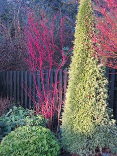 "The early morning winter sunlight has enhanced the colour however, the true colour of the stems of the Japanese maple in the left of the picture is bright crimson!  The acer was labelled at the garden centre as Acer palmatum Senkaki ""Eddisbury"". The tall conical conifer to the right is Thuja plicata 'Zebrina' (Western red cedar )  has bright green foliage tinged with yellowish flecks.. The low conifer in the foreground is Chamaecyparis obtusa 'Nana Aurea'"