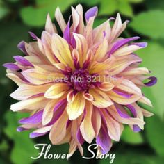 Online Shop 100 Dahlia 'French Cancan' Seeds, Attractive Balcony or Potted Flower Plant,Easy growing ,Strong adaptability,Free Shipping|Aliexpress Mobile Gotta have this
