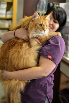 My vet had a Maine Coon come into today and demonstrated the size compared to normal cats.