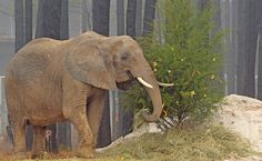 """Nosey the Elephant Gets Her Happy Ending: Freedom - """"We were very excited and very relieved,"""" Carpenter told the Decatur Daily. """"I will get with Callie [Waldrep, assistant district attorney] and the commissioners to discuss this. I'm positive Nosey will continue to live at [The Elephant Sanctuary in Tennessee]."""""""