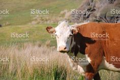 Hereford Cow in Rural New Zealand Scene royalty-free stock photo Hereford Cows, Scene Photo, Image Now, Cattle, Agriculture, New Zealand, Royalty Free Stock Photos, Advertising, Photography
