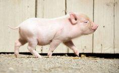 F5 - bichos - Dez filhotes de mini porco nascem em zoo na Alemanha; veja fotos - 13/08/2013