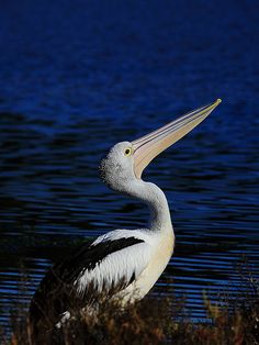 Pelican | Orange Leaf | Flickr
