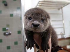 Cute factor: Otters are in their own league ENTIRELY when it comes to cuteness. They have the cutest, fuzzy little faces IN THE WORLD. BONUS: They have the most adorable animal trait. Otters hold hands while they sleep so they don't float away from each other. SQUEE.