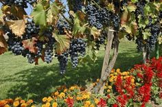 Companion Planting With Grapes: What To Plant Around Grapes - To get the healthiest vines that produce the most fruit, consider companion planting with grapes. Plants that grow well with grapevines are those that lend a beneficial quality to the growing Growing Tomatoes In Containers, Growing Grapes, Growing Flowers, Planting Flowers, Planting Lavender, Fruit Plants, Fruit Garden, Fruit Trees, Garden Plants