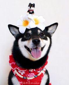 Shiba Inu loves wearing her Hawaiian plumeria flowers!