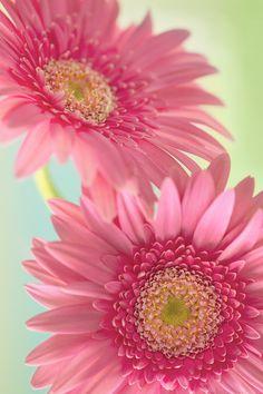 "euph0r14: ""macro | Pink gerberas | by juliabsi | http://ift.tt/1MA40jV "" More"