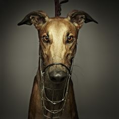 Greyhound can't wait to apply for a green collar. My hound has permanent facial scars from wire muzzles.