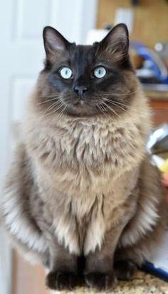 Bagheera – a Seal Sepia Ragdoll Cat http://www.floppycats.com/bagheera-ragdoll-of-the-week.html