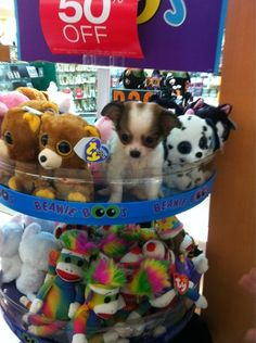 "A puppy who is convinced that she is a 50%-off ""Beanie Boo."" 