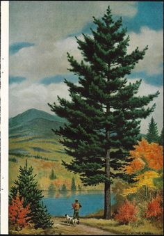 Walter A Weber Tree Eastern White Pines Hunter by MyPaperedPast, $8.00