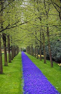 A walk of grape hyacinths