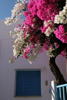 white and pink bougainvillea / Hora, Amorgos, Greek Islands