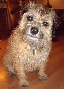 Border Terriers thrive when they are with their people and arent meant to reside outdoors with little human interaction.