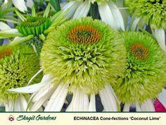 Echinacea Coconut Lime