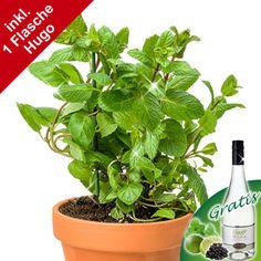 Minze-Pflanze mit 1 Flasche Hugo-Secco  Ein erfrischendes Erlebnis und Geschenk.  Voll im Trend ist unser erfrischendes Minzpflanzen Set. Verschenken Sie eine duftende Minzpflanze im schönen Tontopf (Gesamthöhe ca. 25 cm) und einer Flasche leckerem Hugo-Secco di Lucia 0,75l. Ganz viel Minze, dazu Limette und Holunder - ein Näschen zum Verlieben. Die Minze ist zum Verzehr geeignet und eignet sich auch bestens zum verfeinern des Hugo´s.
