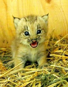 Oh, you Canadians and your cute lynx kittens. How can you not want to re-enact the Lion King with that little ferocious thing?