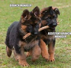 Wicked Training Your German Shepherd Dog Ideas. Mind Blowing Training Your German Shepherd Dog Ideas. Cute Dogs And Puppies, Pet Dogs, Doggies, Gsd Puppies, Weiner Dogs, Gsd Dog, Terrier Puppies, Beautiful Dogs, Animals Beautiful