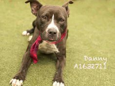 DANNY - URGENT - CITY OF LOS ANGELES SOUTH LA ANIMAL SHELTER in Los Angeles, CA - Adult Male Pit Bull Terrier