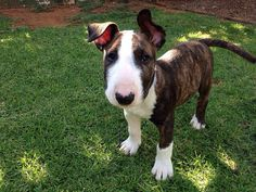little Dexter the #Bullterrier