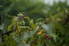 Berries in the Rain by HaleyGottardo