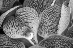 Foto 3 de 10 - Categoria: biologia evolucionária. Na imagem, parte de uma folha impermeável da espécie Salvinia Molesta. Apesar de ser uma planta aquática, com a evolução, a sua parte exterior ficou impermeável. Crédito: Royal Society Publishing/Ulrike Bauer.