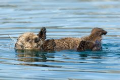 Baby Sea Otters | Baby Sea Otter picture (Enhydra lutris) | Tom & Pat Leeson