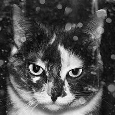 Pet Portrait Photo Black and White Calico Cat Fine by DarkArtPhoto, $30.00