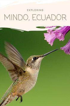 Travel Guide to the unmissable things to to in Mindo Ecuador. Trekking the Mindo Cloud Forest, river tubing, bird watching, zip-lining, mountain biking. Good Morning Picture, Morning Pictures, Good Morning Images, Flowers That Attract Hummingbirds, How To Attract Birds, Attracting Hummingbirds, Butterfly Plants, Hummingbird Flowers, Hummingbird Nests