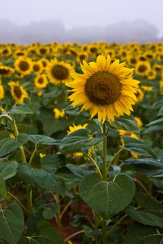 Alone in a Crowd - Sunflower at dawn, Sugarland, Maryland
