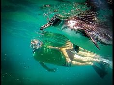 Secrets to Swimming With Galapagos Penguins - Green Global Travel