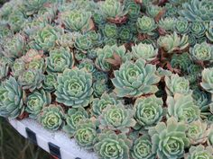 Echeveria secunda – Old Hens and Chicks, Blue Echeveria - See more at: http://worldofsucculents.com/echeveria-secunda-old-hens-and-chicks-blue-echeveria