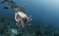 Sharks taught to hunt alien lionfish