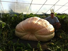 Your guide to giant pumpkin growing. Pumpkin growing tips & techniques to grow a big pumpkin. Learn how to get the best giant pumpkin seeds. Vegetable Gardening, Gardening Tips, Amazing Gardens, Beautiful Gardens, Giant Pumpkin Seeds, Pumpkin Growing, Biggest Pumpkin, Pumpkin Man, Beautiful Fruits