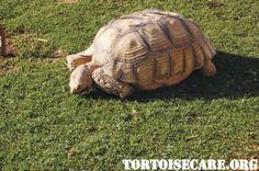 Click photo for terrific article on: TortoiseCare.org - Tortoise Care Information, Tortoise Housing, Tortoise Keeping, Tortoise Caresheet, Pet Tortoise, Tortoise Care Sheet, Sulcata Tortoise Care