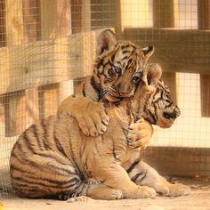 Moments Tendres de Chats, Chiens et autres Animaux qui se font des Câlins - Ici, 2 bébés Tigres